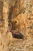 Female lions eating a dead baby elephant