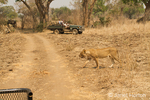 Female lion walking along a dusty road with safari vehicles watching