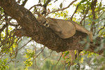 Female lion resting in tree