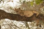 Female lion resting in tree