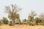 Baobab tree with Marabou Stork perched in the upper branches