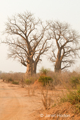 Two Baobab trees landscape