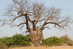 Large Baobab tree with men posing in front of it