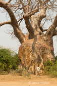 Large Baobab tree with women posing in front of it