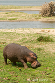 Hippopotamus eating grass in the area directly in front of the Royal Zambezi Lodge