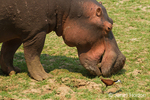 Close-up of hippopotamus eating grass with African Jacana bird nearby, in the area directly in front of the Royal Zambezi Lodge