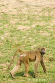 Chacma or Cape Baboon walking near the Royal Zambezi Lodge, in the grassy area between the Zambezi River and the lodge