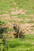 Chacma Baboon hanging around the Royal Zambezi Lodge, in the grassy area between the Zambezi River and the lodge