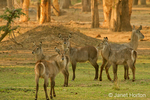 Herd of female waterbucks next to a forest