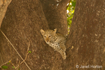 Baby Leopard left in a tree while its mother went hunting for food