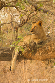 Approximately two year old male lion resting in a tree