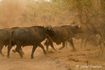 Herd of African Buffalo running across a dirt road, stirring up the dust
