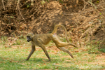 Chacma Baboon running on the grounds of the Royal Zambezi Lodge