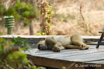 Chacma Baboon taking a nap on the wood deck of a room at the Royal Zambezi Lodge