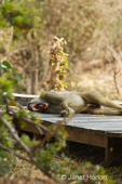 Chacma Baboon taking a nap and yawning on the wood deck of a room at the Royal Zambezi Lodge