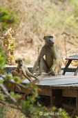 Two Chacma Baboons on a wood deck on the grounds of the Royal Zambezi Lodge