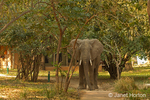African Elephant with ears flared out, walking on a path at the Royal Zambezi Lodge