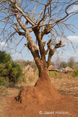 Acacia tree growing in termite mound at the Chiawa Cultural Village