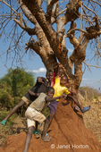 Boys showing off climbing a termite mound with an acacia tree growing out of it, at the Chiawa Cultural Village