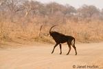 Male Sable Antelope walking across a dirt road