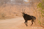 Male Sable Antelope about to walk across a dirt road