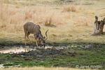 Male Kudu drinking from a small water hole in the Nakavango Estate of the Victoria Falls Private Game Reserve