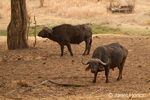 Two African or Cape Buffalo in the Nakavango Estate of the Victoria Falls Private Game Reserve