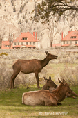 Two elk cows eating grass near a visitors center, in an urban area