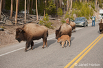 Bison walking down the middle of the road, next to people and cars