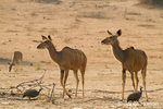 Three Female kudu and two Helmeted Guineafowl walking by each other