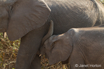 Baby African Elephant nursing from its mother
