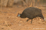 Helmeted Guineafowl searching for food