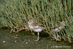 Two American Avocet (Recurvirostra americana) chicks near pickleweed, one scratching itself and one running into the pickleweed to hide, in the tidal salt marsh 