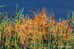 Saltmarsh Dodder on Pickleweed next to tidal salt marsh water