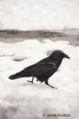 Raven walking on packed snow by a small stream of water