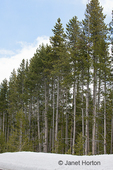 Lodgepole Pine forest in snow