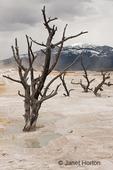 Dead trees at Minerva Terrace at Mammoth Hot Springs