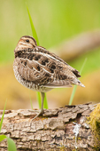 Wilson's Snipe resting with its beak tucked into its feathers
