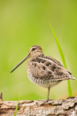 Wilson's Snipe resting on a log, standing on one leg