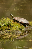 Painted Turtle sunning itself