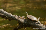 Painted Turtle sunning itself on a log, in a precarious position struggling to get a foot hold