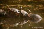 Three Painted Turtles sunning on a log