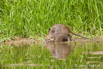 Nutria stepping into a stream.  Coypu, also known as the river rat or nutria, is a large, omnivorous, semi-aquatic rodent.   Its destructive feeding and burrowing behaviors make this invasive species a pest throughout most of its range.