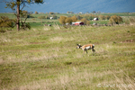 Pronghorn near rural farm buildings