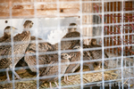 Ring-necked Pheasant juveniles in a cage at a farm
