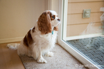 Mandy, a Cavalier King Charles Spaniel, waiting by a sliding glass door to get let out