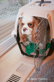 Mandy, a Cavalier King Charles Spaniel, in a dog crate