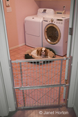 Mandy, a Cavalier King Charles Spaniel, on her dog bed in a laundry room behind baby gate