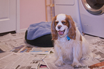 Mandy, a Cavalier King Charles Spaniel, with newspaper on the floor for potty training purposes