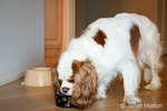 Mandy, a Cavalier King Charles Spaniel, eating from a dog bowl